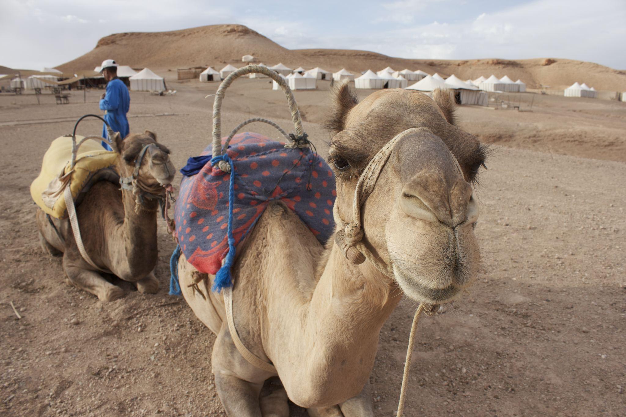 dromedaries Morocco