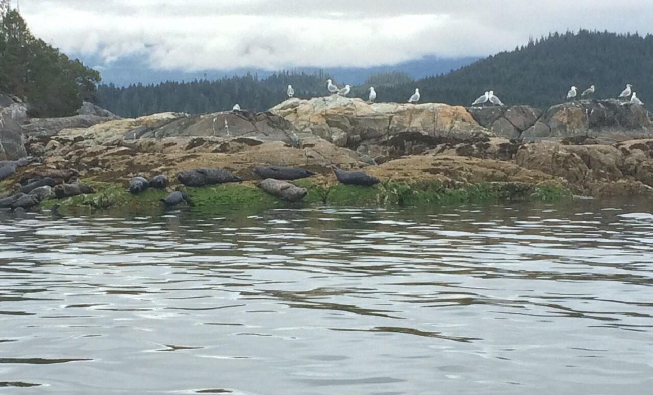 Vancouver Island seals